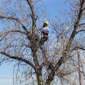 Arborist removes branches from dead tree.
